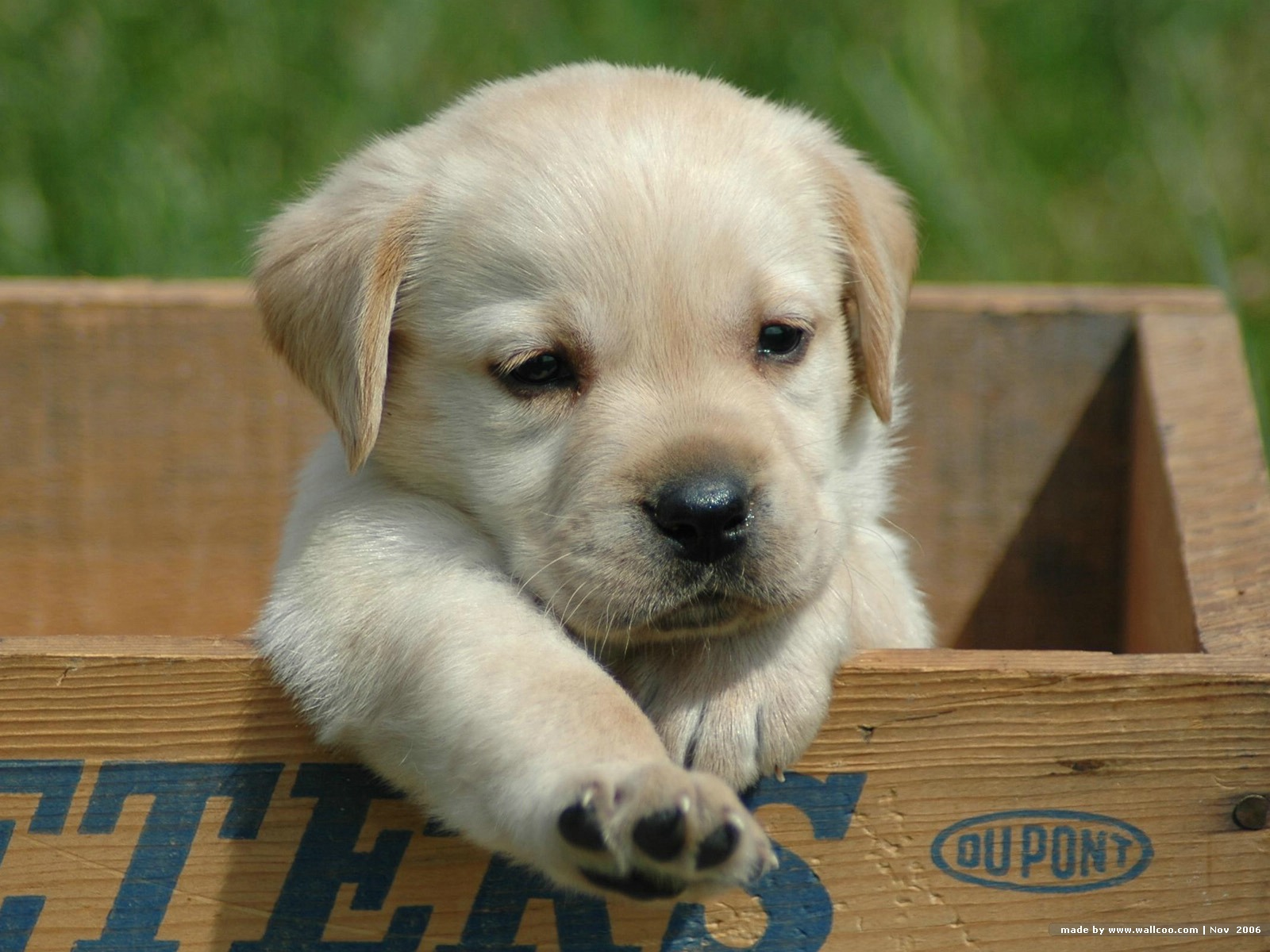 cute-labrador-retriever-puppy-wallpaper6