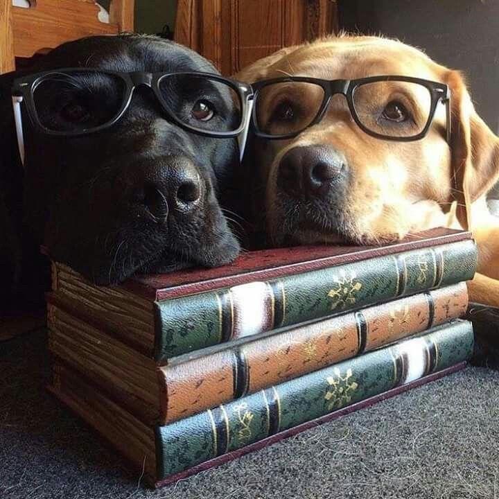 dcd0973ae161e77f134e38112ffa6d5a-labrador-dogs-black-labrador5
