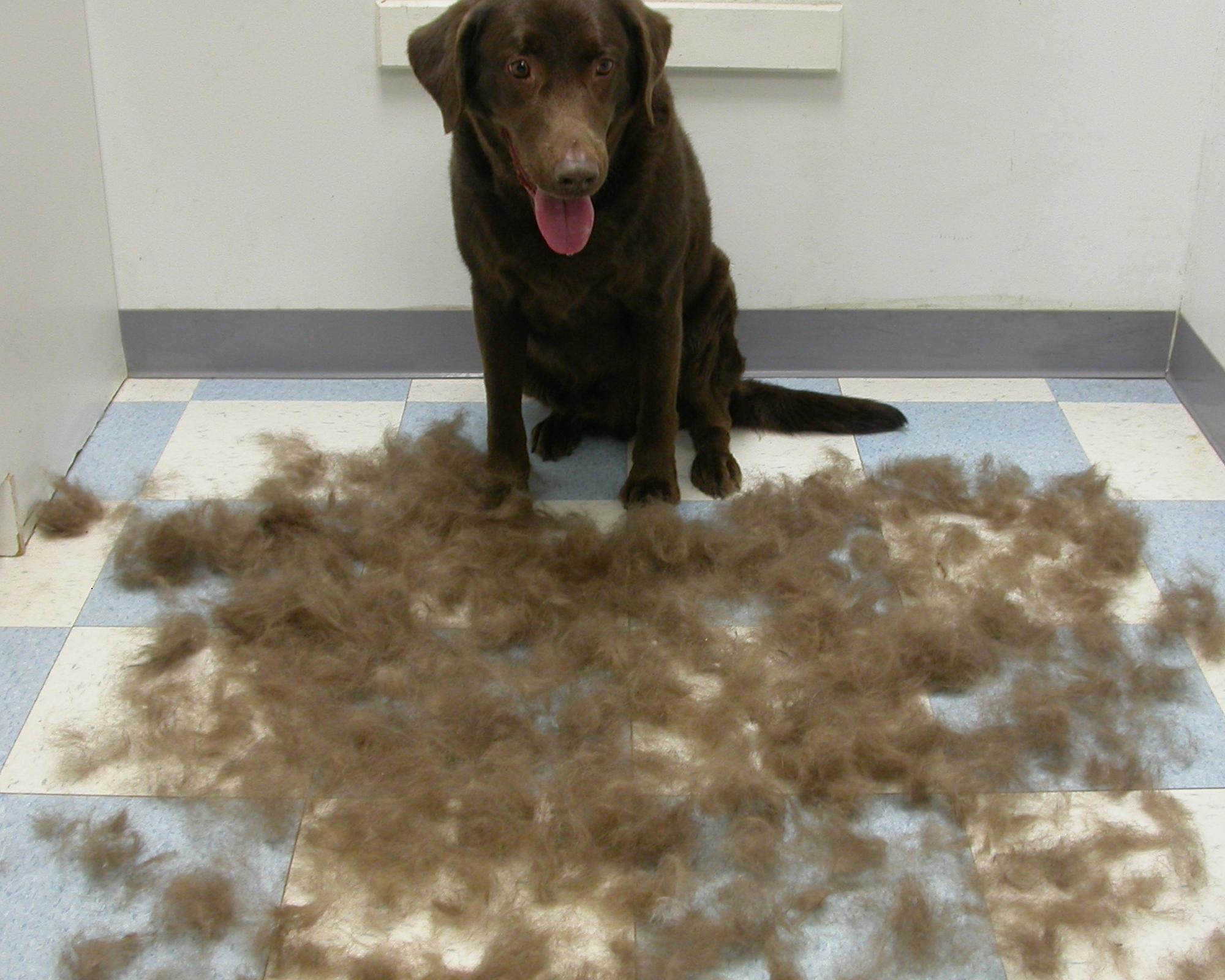 dog-labrador-retrievers-shed3