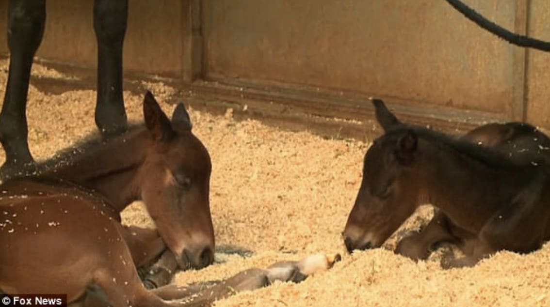 miracle-foals-twins1