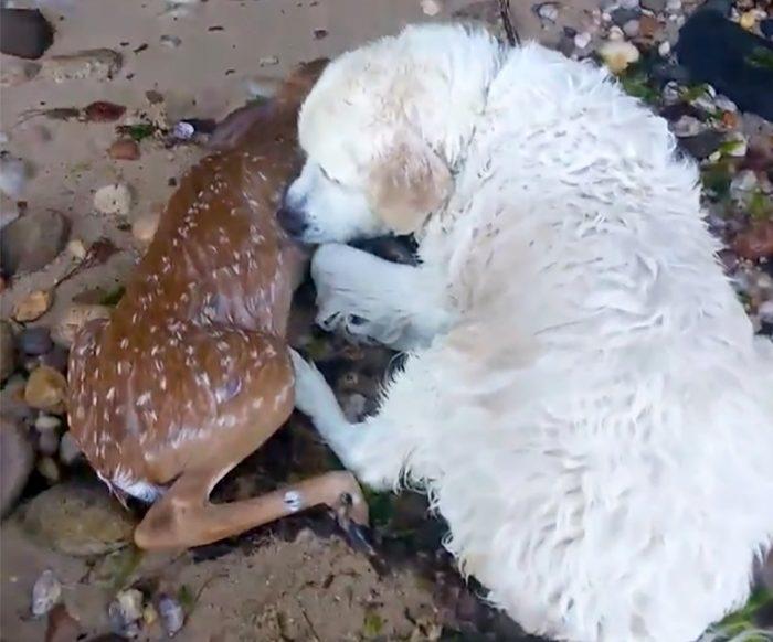 1-dog-saves-drowning-deer-e1511974547711