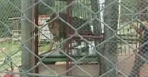 lion-cage-1