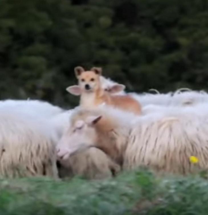 sheepdog2