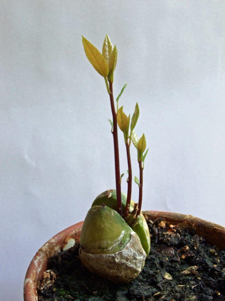 Avocado-pflanze003